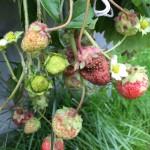 Gamle jordbær